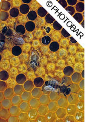 picture of bees on a comb in a hive being held up by the bee keeper