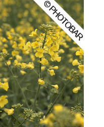 close up picture of canola